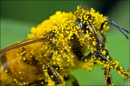 A closeup of a bee carrying pumpkin pollen.