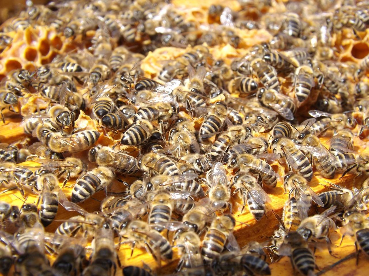 Honeybee populations might be in trouble as lands surrounding America's beekeeping hotspot undergo land development.