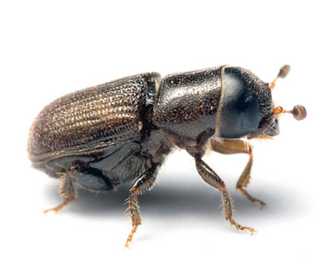 Southern pine beetles are bad news for pine forests.