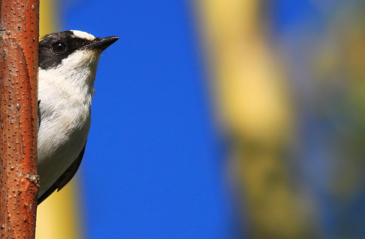 The collared flycatcher is one example of a songbird used in this study to find out if genetics have anything to do with song discrimination.