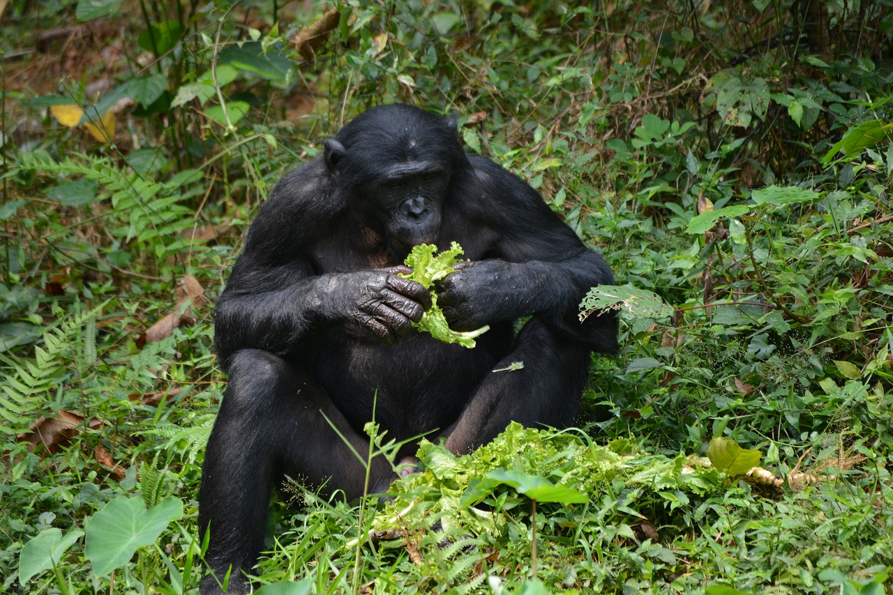 A wild bonobo sits down to enjoy a meal.