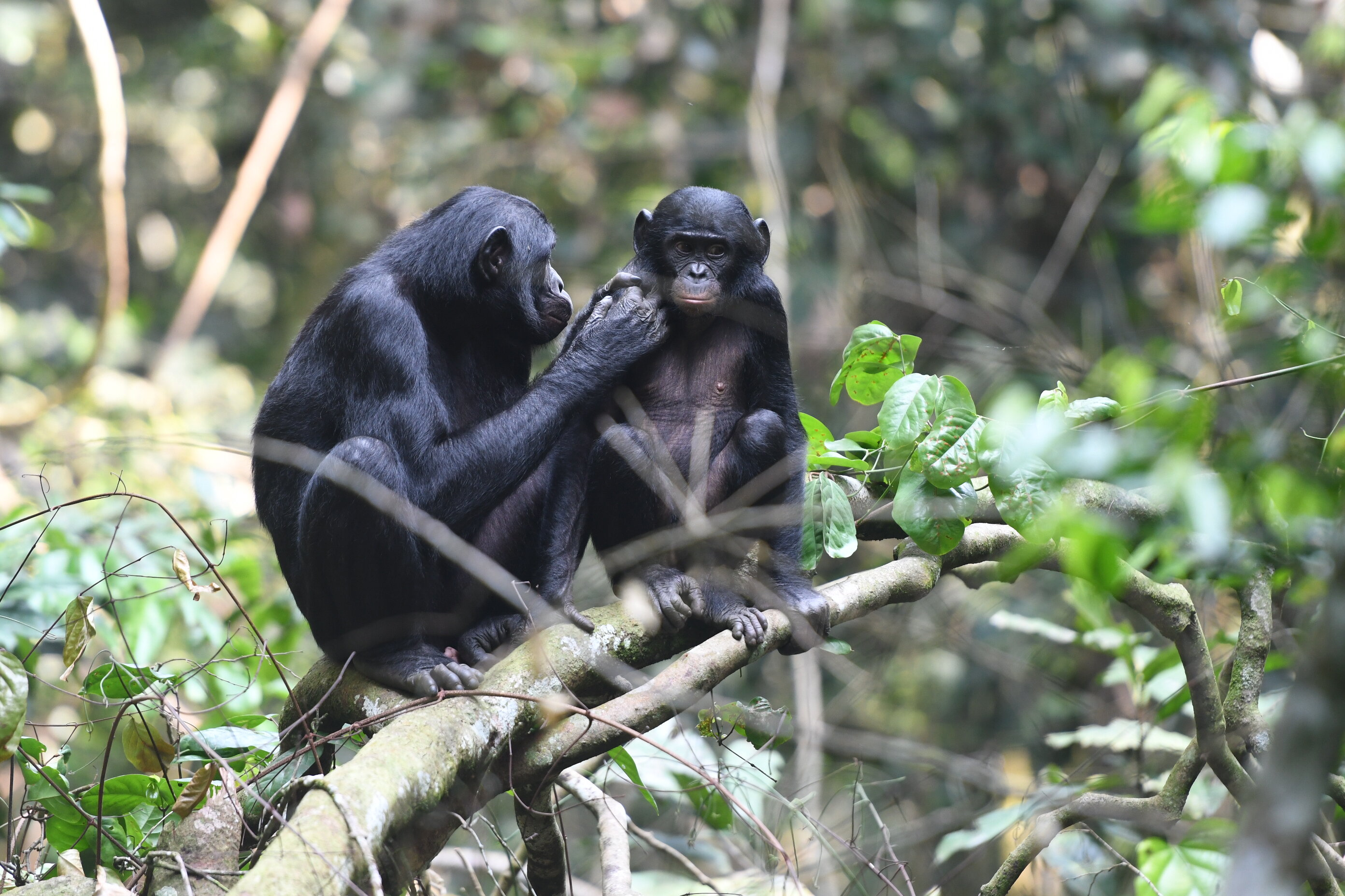 A male bonobo and his mother.