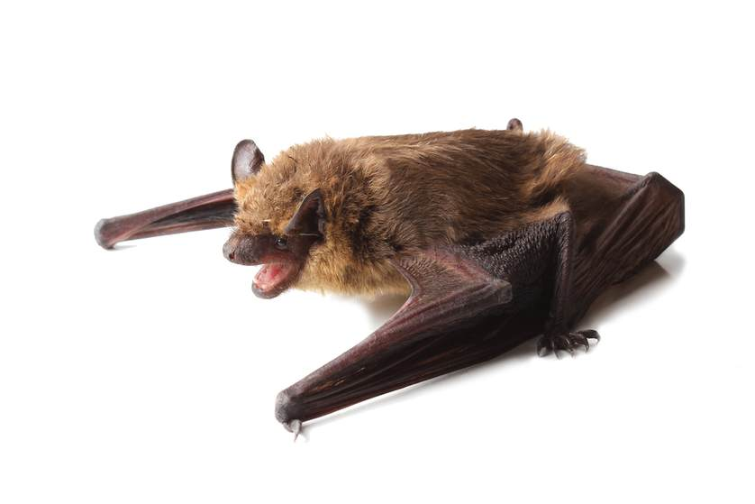 Novel Bat Virus Also Infects Human Cells