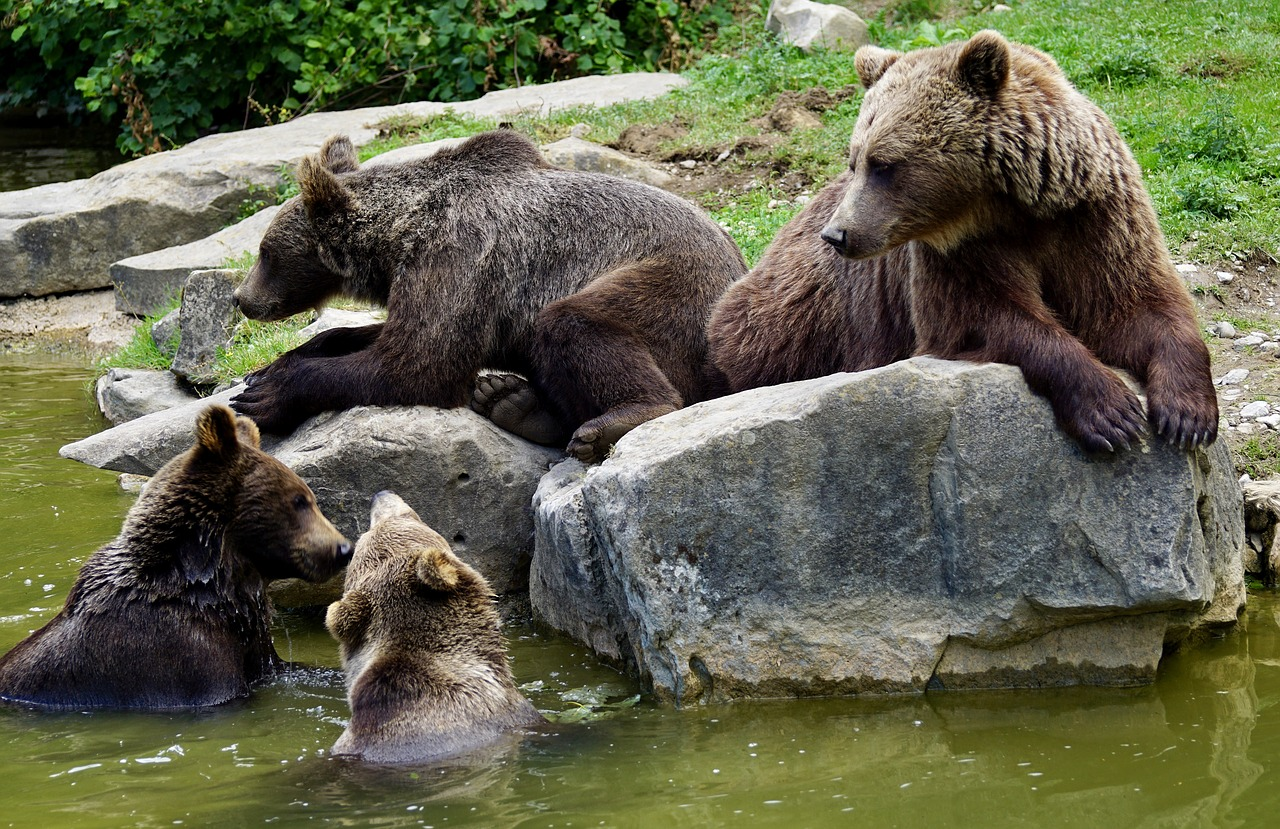 Brown bear cubs in Sweden's forests are spending more time with their mothers than ever before.