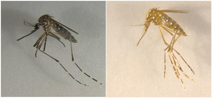 CRISPR/Cas9-mediated disruption of genes associated with cuticle pigment caused mosquitoes to turn from black to yellow, and disruption of genes associated with eye pigment caused eye color to change from black to white. / Credit: UC Riverside.