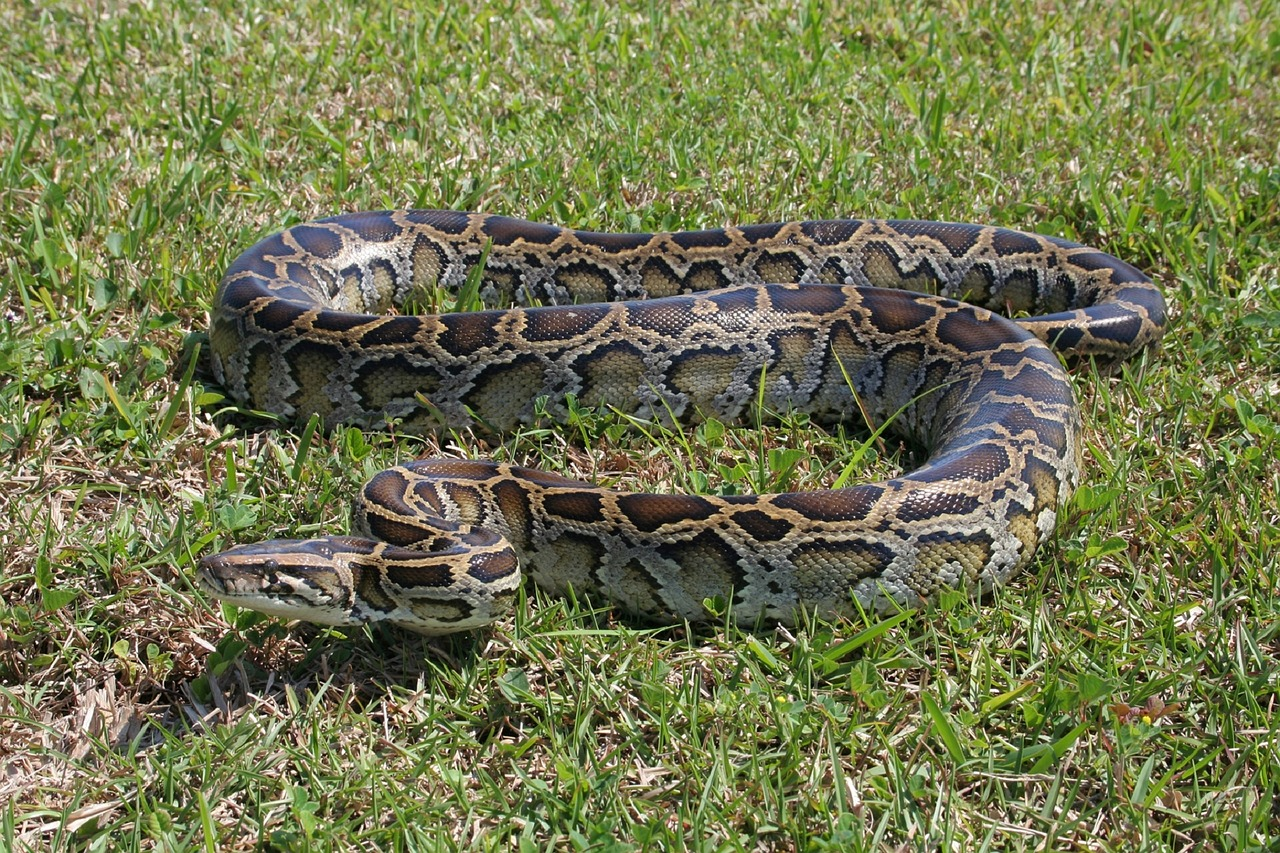 Burmese pythons aren't native to Florida, but they were brought there. They are one example of an invasive alien animal species.