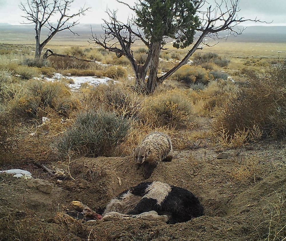 A badger buries a calf planted in the wild by researchers with camera traps.