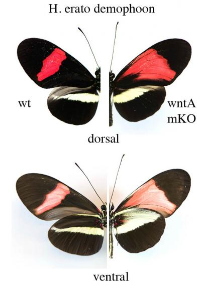 On the left, the normal or wild type (left) wing pattern of the passionfruit butterfly Heliconius eratus demophoon, on the right, the same butterfly after the WntA gene has been knocked out. / Credit: Smithsonian Tropical Research Institute