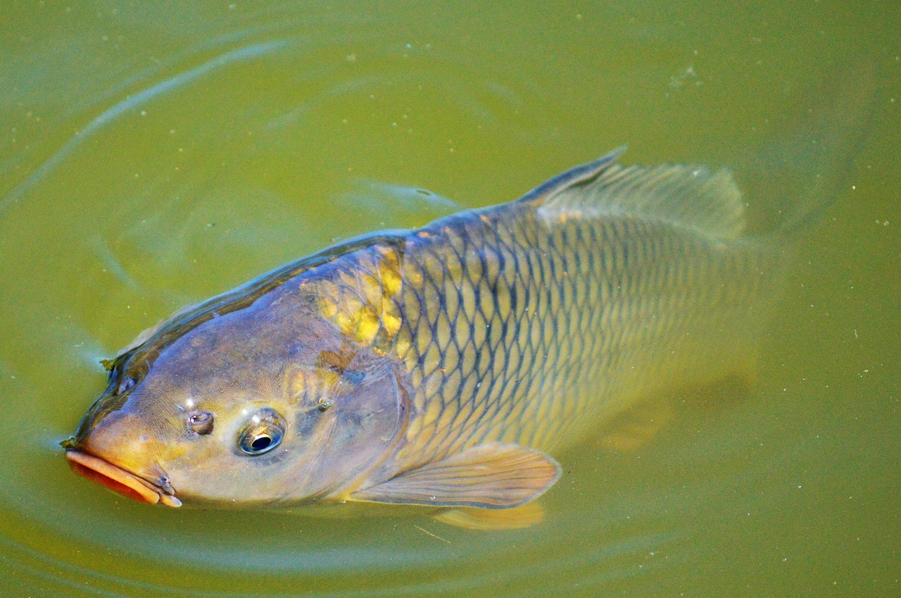 Alien carp are incredibly invasive, and they pose a threat to waterbirds and diving ducks every time they are introduced to a new ecosystem.