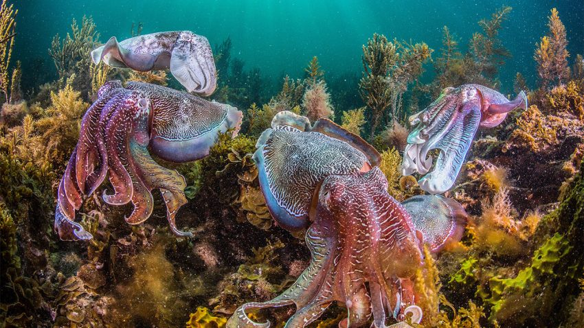 Cephalopods are multiplying in our oceans, and human intervention on nature may be the root of the cause.