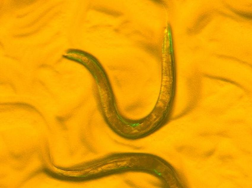 Scientists at the MDI Biological Laboratory used C. elegans as a model to identify markers of healthy aging. The study will help scientists assess the tradeoffs between lifespan and health span in humans. / Credit: MDI Biological Laboratory