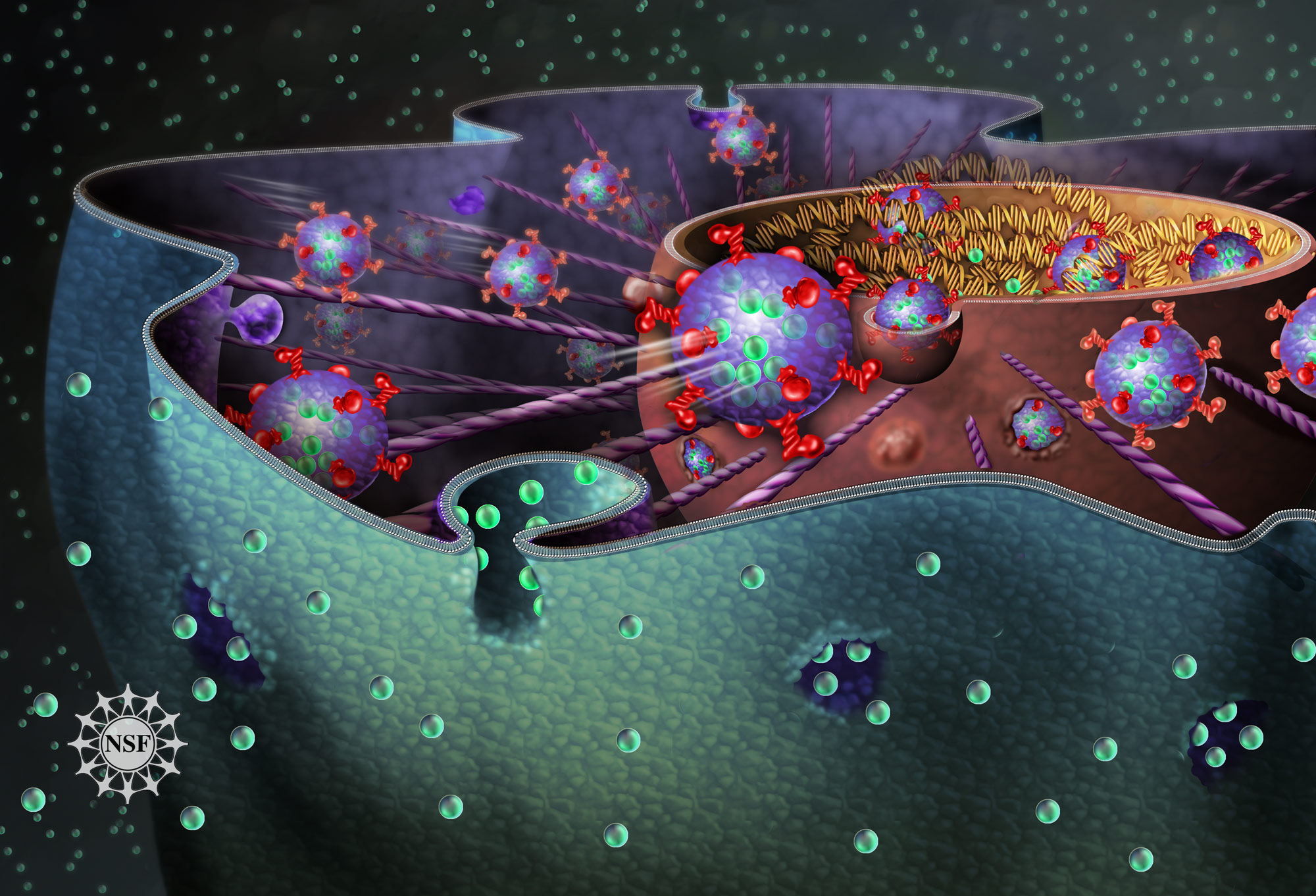 An illustration of the interior of a cell / Credit: Nicolle Rager Fuller, National Science Foundation