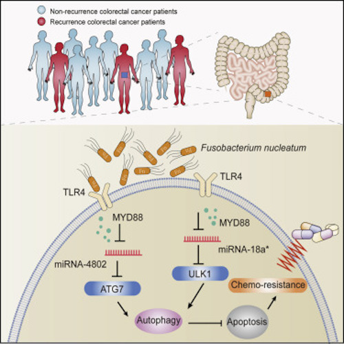 Mechanistically, F.nucleatum targeted TLR4 and MYD88 innate immune signaling and specific microRNAs to activate the autophagy pathway and alter colorectal cancer chemotherapeutic response. / Credit: Cell Yu et al 2017