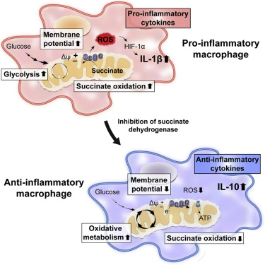 The graphical abstract from the publication illustrates how oxidation of succinate and mitochondrial hyperpolarization drive ROS production. / Credit: Cell Mills et al