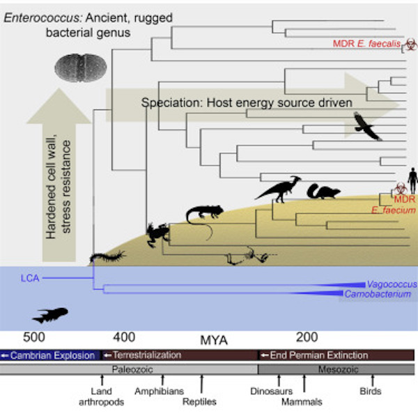 The evolutionary history of leading multidrug resistant hospital pathogens, the enterococci, and their origin hundreds of millions of years ago / Credit: Cell Lebreton et al