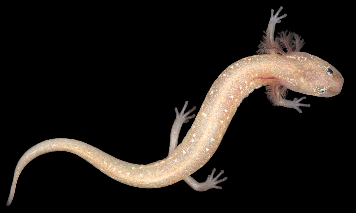 This new groundwater salamander species from Central Texas doesn't have a name yet, and researchers say it's already critically endangered.