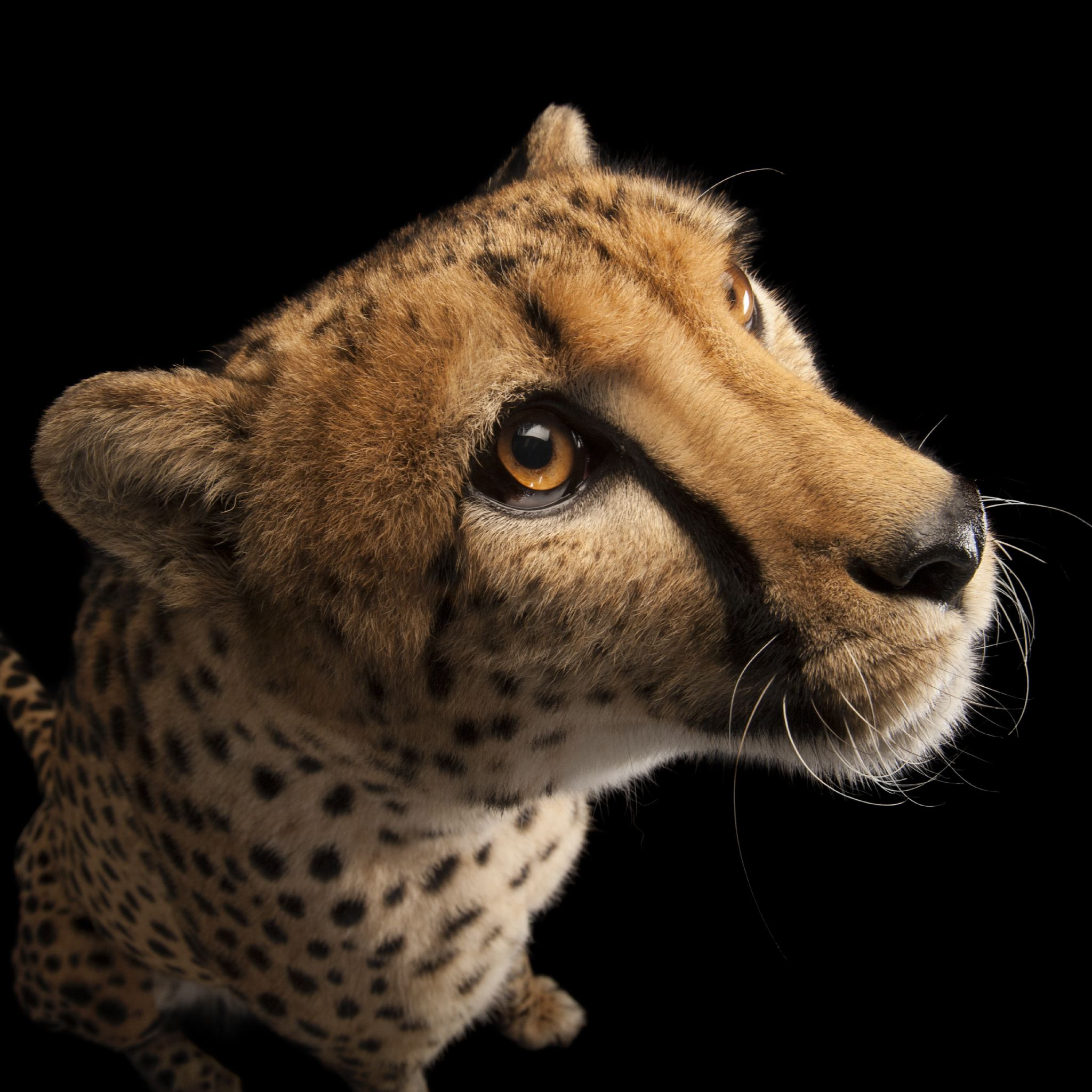 The cheetah is in more trouble than originally thought.