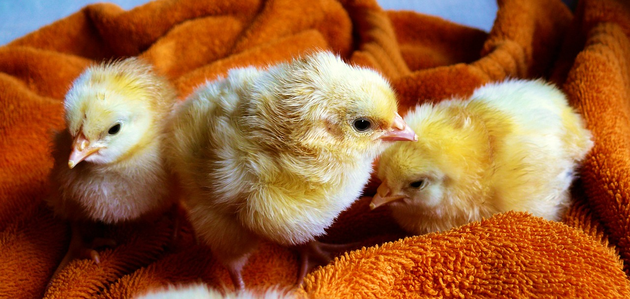 Chickens are a lot smarter than we give them credit for.