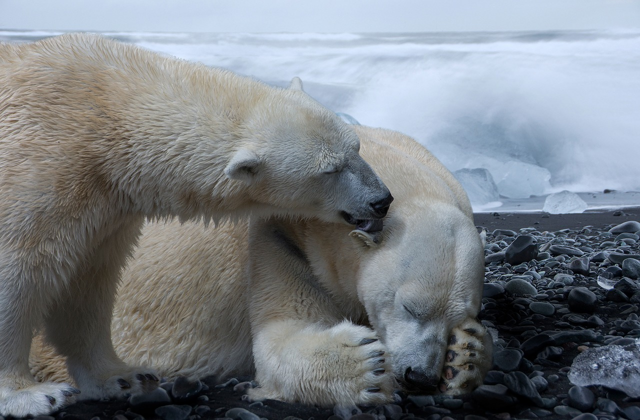 Polar bears need more energy than they're getting, and scientists say it's beacuse they an't find enough prey,