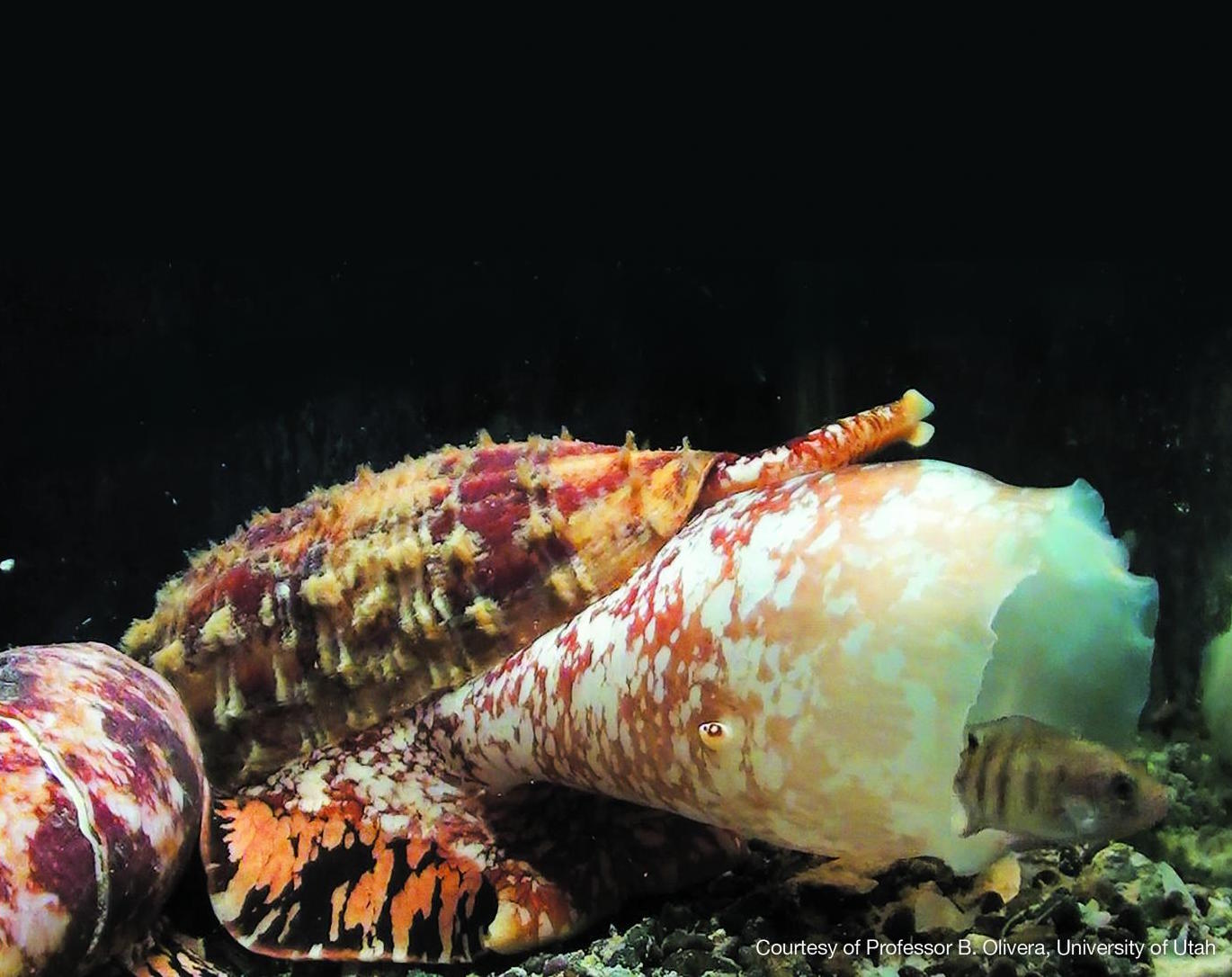This is a Marine cone snail: conus geographus. / Credit: Professor B. Olivera, University of Utah.