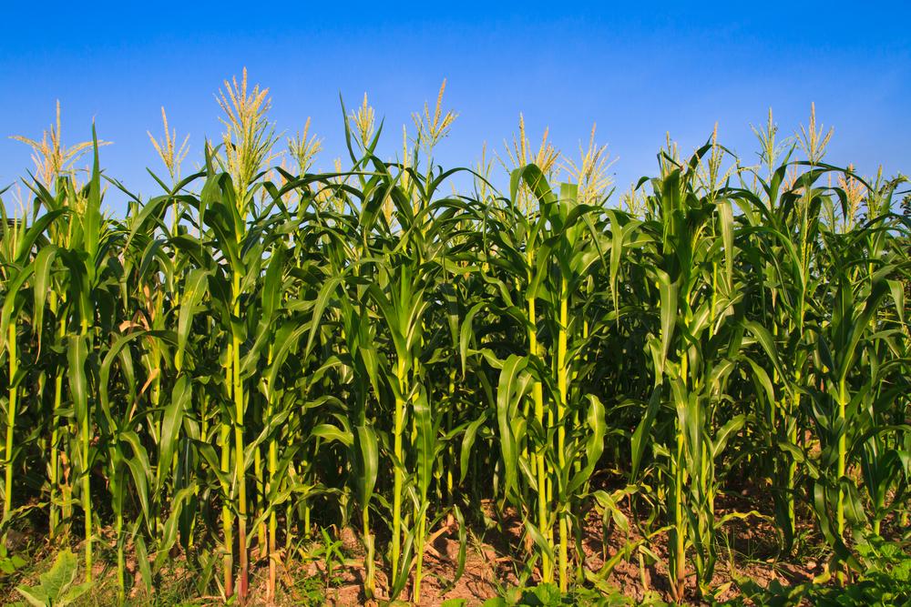The corn is as high as an elephant's eye! Photo: Altar of Freedom