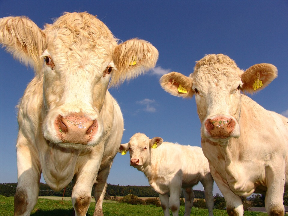 Methane emissions come largely from livestock farming and agriculture. Photo: Pixabay