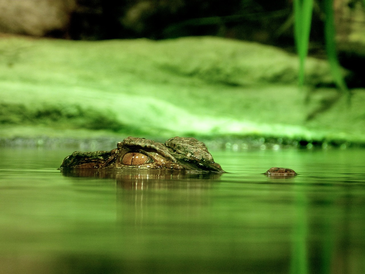Alligators can hide in almost any body of water, and strike when you least expect it.