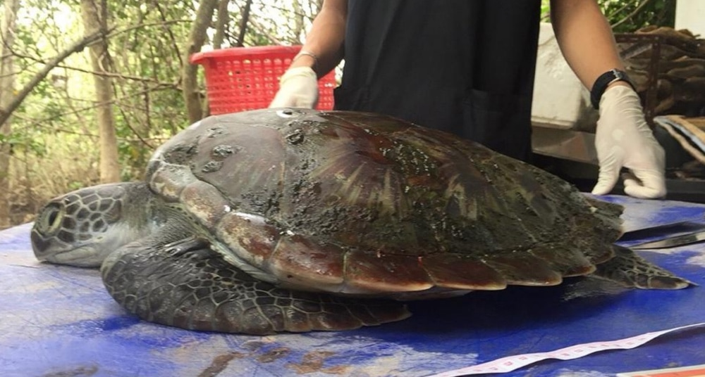 This poor sea turtle didn't survive after ingesting too much plastic trash.