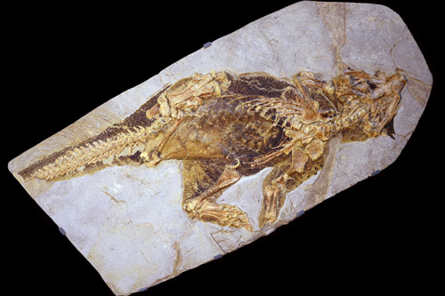 The fossil of the Psittacosaurus.