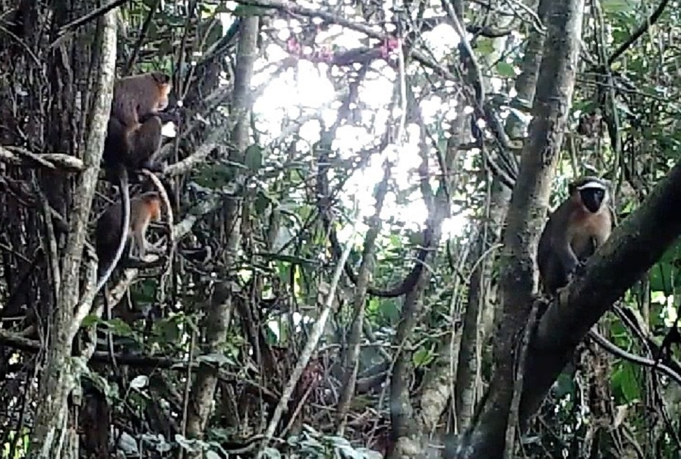 The Dryas Monkey was captured in rare footage thanks to a project being conducted in the Democratic Republic of Congo by Florida Atlantic University.