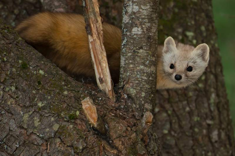 The Humboldt Marten is smaller than the size of a house cat. Photo: Sonoma Index-Tribune