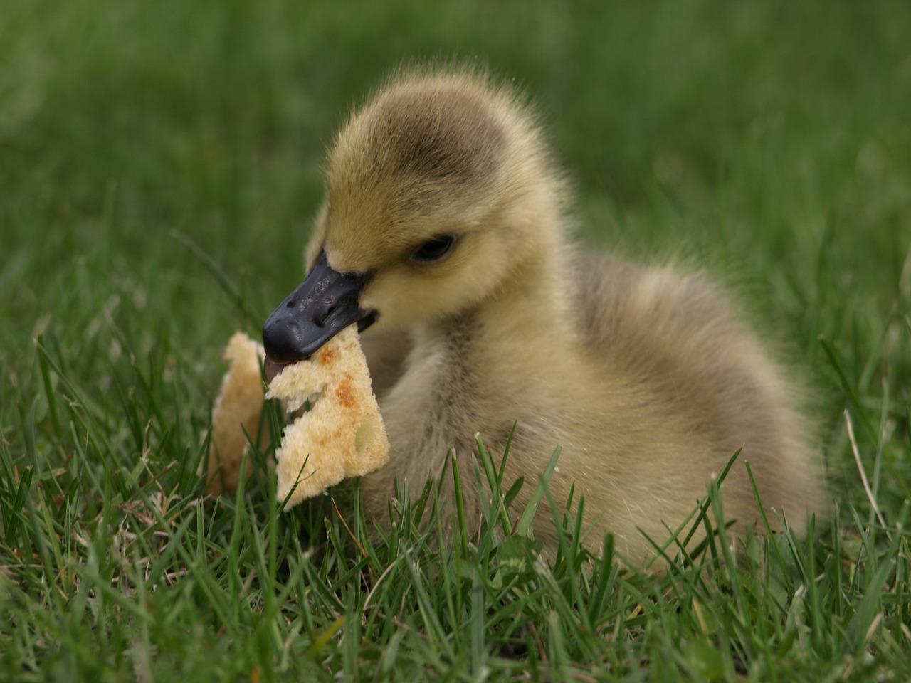 Feeding ducks stale white bread is a bad idea.