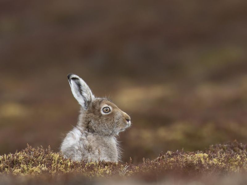 The humble Scottish Highlands-based mountain hare may be in trouble.