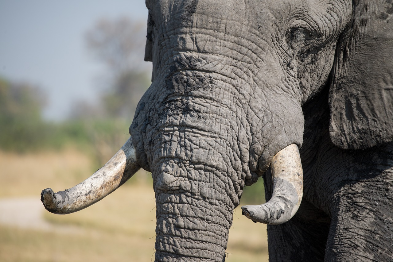Elephants have long been killed for their ivory tusks, but a new upcoming law in Hong Kong could help change that.
