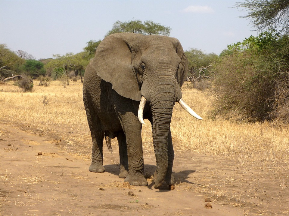An elephant walking along a dirt road.