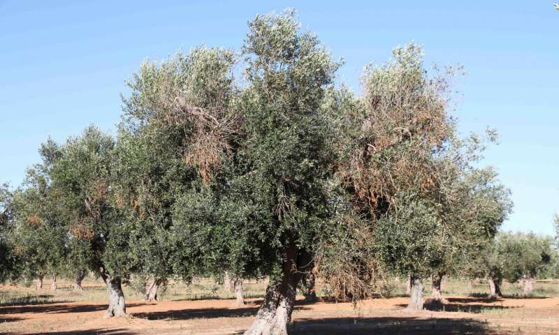 These olive trees are infected with Xylella.