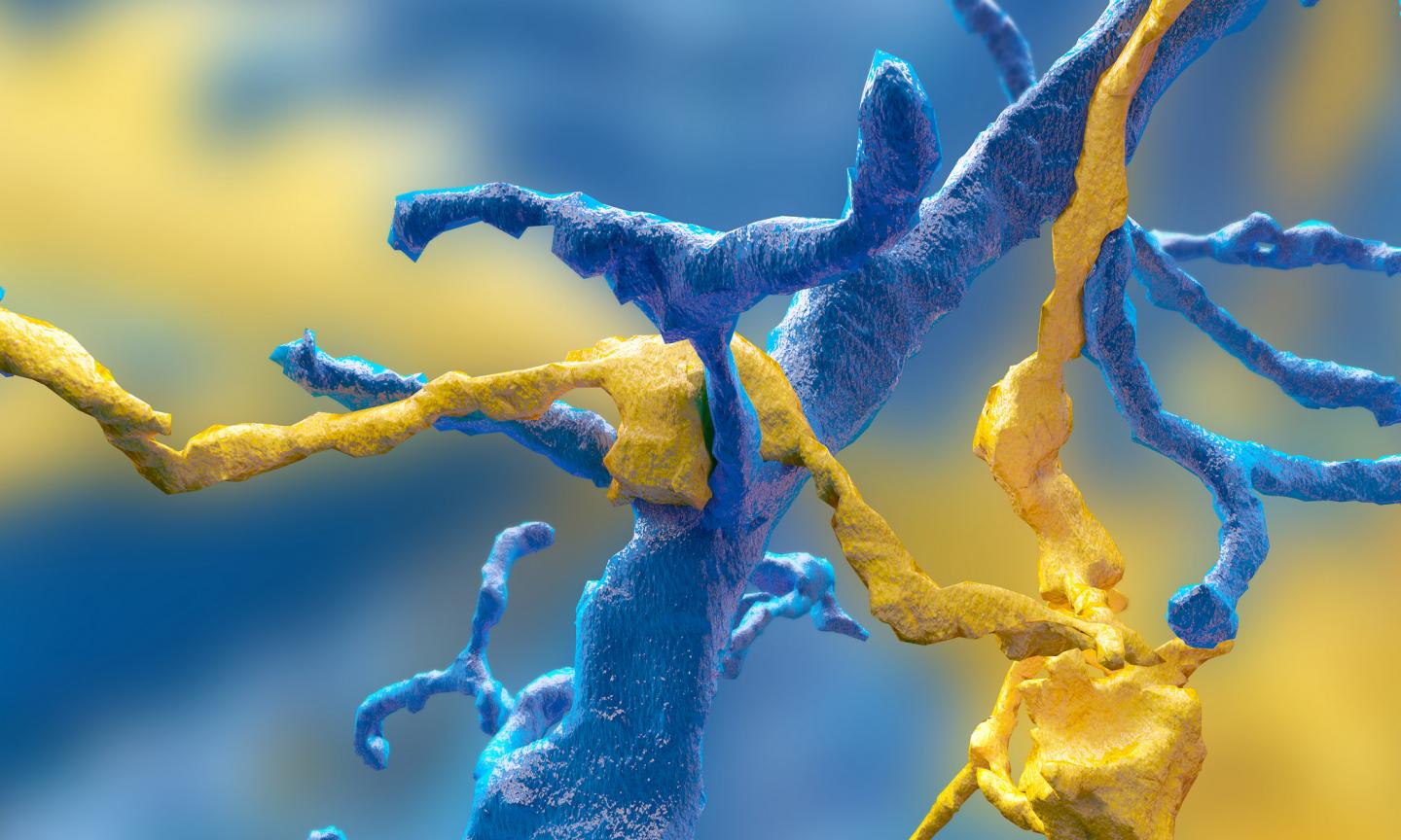 By turning a time-intensive research problem into an interactive game, Princeton neuroscientist Sebastian Seung has built an unprecedented data set of neurons, which he is now turning over to the public via the Eyewire Museum. Eyewire gamers mapped this synapse between a ganglion neuron (blue) and a starburst amacrine cell (yellow). / Credit: Image by Alex Norton, Eyewire