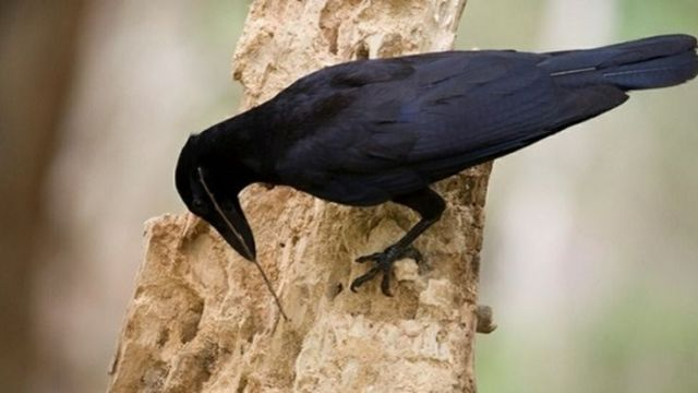 Crows are seen using own tools to hunt and gather food.