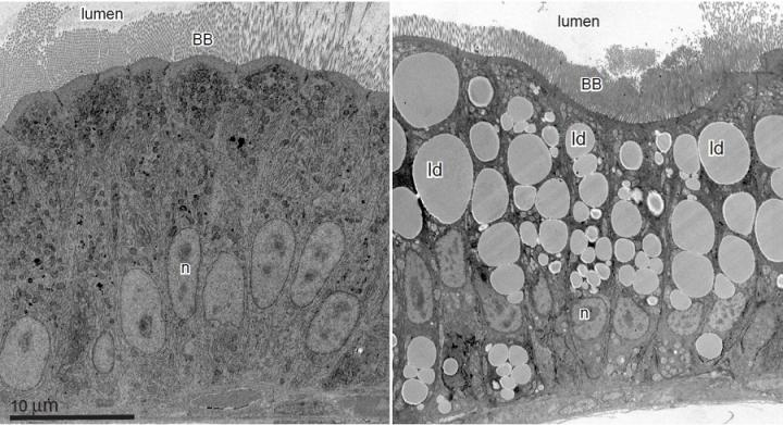 The research team found that fatty food consumption causes the cells that line our intestines to do some interior remodeling. One such shape shift occurs in the nucleus, where the cell's DNA is stored. The team demonstrated that the nucleus takes on a rapid and reversible ruffled appearance after fatty food is consumed, which is shown in this image. / Credit: Image is provided courtesy of Steven Farber and Erin Zeituni