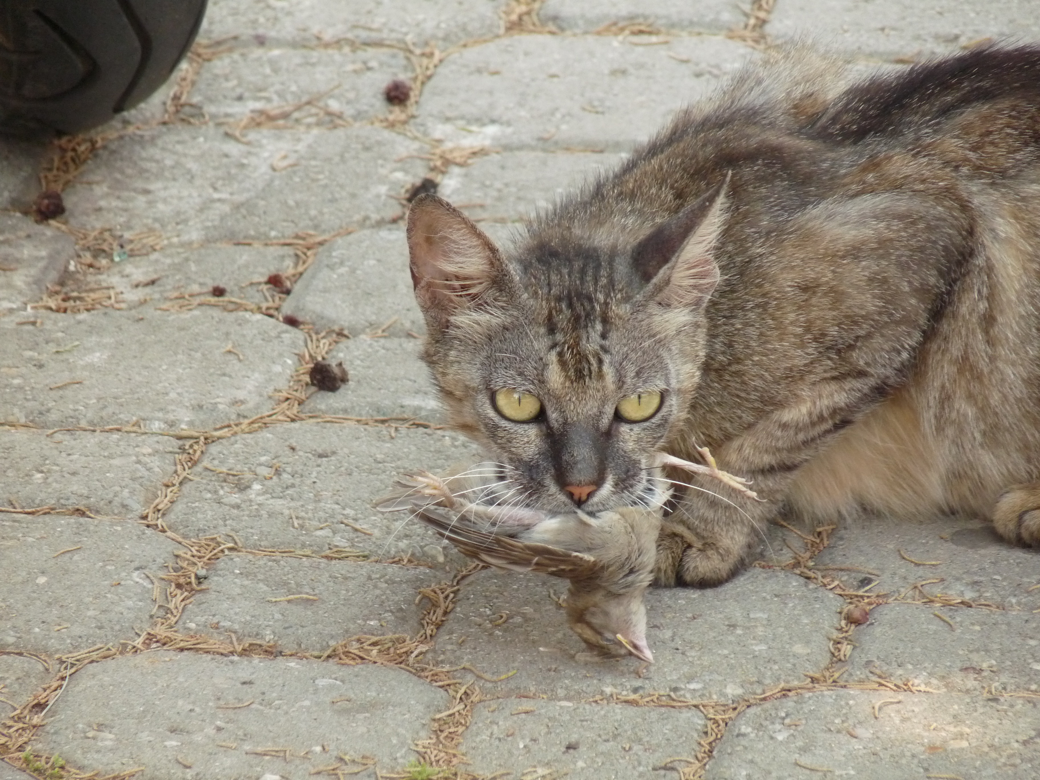 A feral cat carrying a bird carcass.