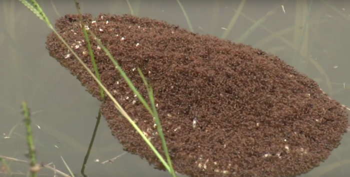 Fire ants in the flooded regions of South Carolina collect their eggs and their buddies in an effort to survive.