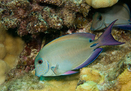 Epulopiscium is an intestinal symbiont of the surgeonfish.
