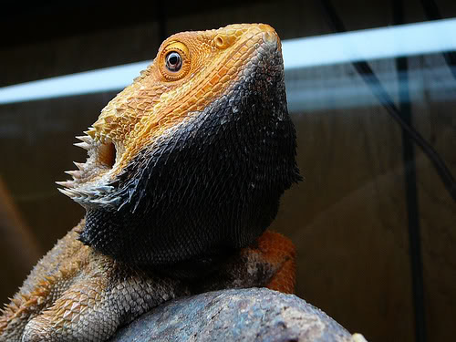 Bearded dragons can change the color of various parts of their bodies depending on the conditions.