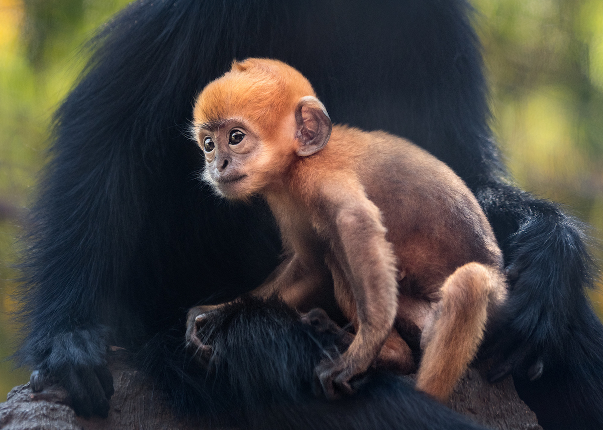 One of the monkeys born at the Los Angeles Zoo earlier this Summer.