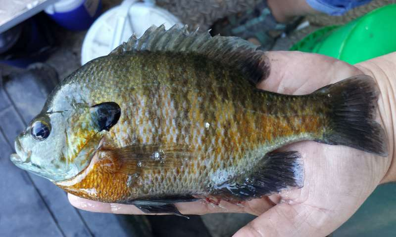 The researchers used the humble bluegill in their experiments.
