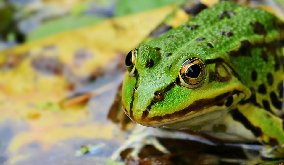 Why are global amphibian populations declining? Climate change isn't the only answer.