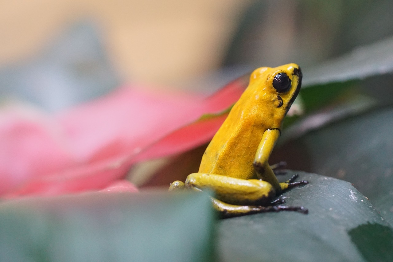Poison dart frogs like this one are lethal to humans and other animals.