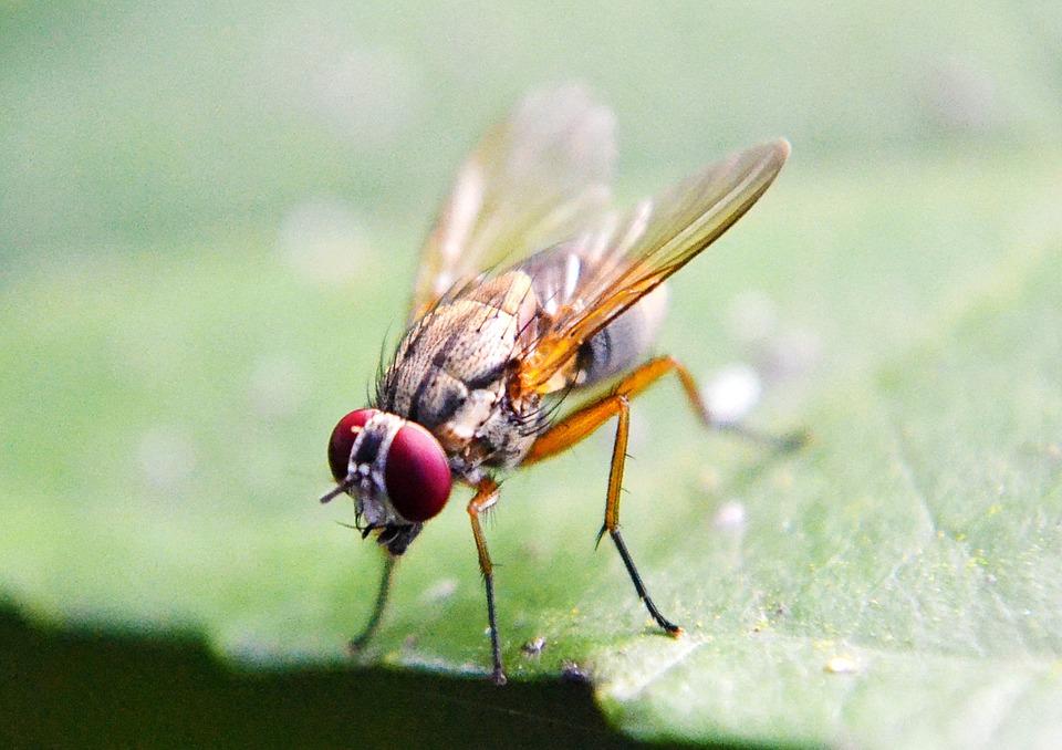 A fruit fly - Drosophila melanogaster / Image credit: Pixabay