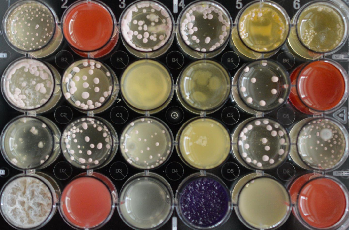 Microorgansims like fungi can be cultivated in the laboratory and stimulated with distinct substances for production of antibiotic metabolic products. / Credit: BiMM Research/Bioactive Microbial Metabolites