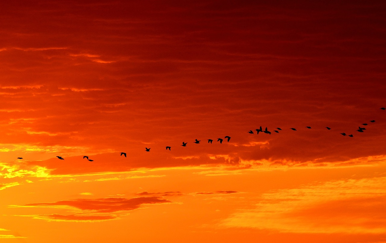 Migrating geese.